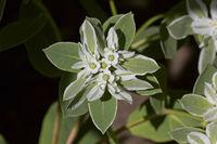 Euphorbia marginata, Rattlesnake Weed, Sandmat