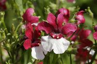 Nemesia strumosa garden flower, Maerchenspiegel