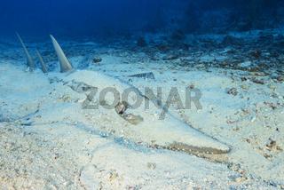 Rhynchobatus djiddensis, Grosser Gitarrenrochen, Riesengeigenrochen, Malediven, Giant guitarfish, Maldives