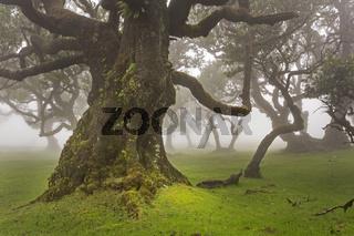 Alte Lorbeerbäume im Nebel, Maderira, Portugal / Laurus nobilis