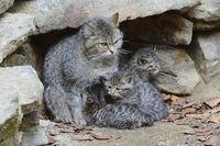 Wildkatze (Felis silvestris) mit Jungtier, captive, Bayern, Deut