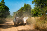 Oxen pulling cart with hay. Myanmar (Burma)