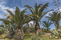Dattelpalmen| date palms