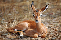 young Impala in South Africa