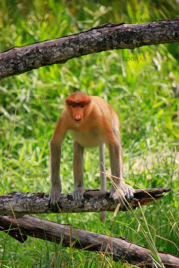 Proboscis monkey sitting on a tree, Borneo, Malays