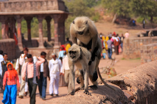 Gray langurs (Semnopithecus dussumieri) mating at Ranthambore Fort, India