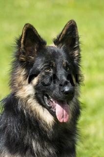 Altdeutscher Schaeferhund