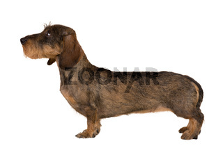 isolated female portrait of brown dachshund