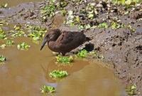 hamerkop, South Luangwa National Park