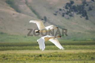 Trumpeter Swans (Cygnus buccinator) flying