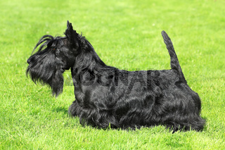 Black Scottish Terrier on a green grass lawn