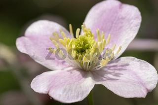 Weiss-violette Gartenanemone - Kronenanemone (Anemone coronaria)