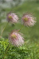 Achenes of Alpine pasqueflower