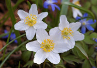 thimbleweed, windflower