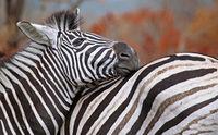 Zebra, Kruger National Park, South Africa