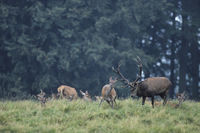 Red Deer stag testing the receptiveness