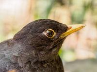 Closeup of thrush