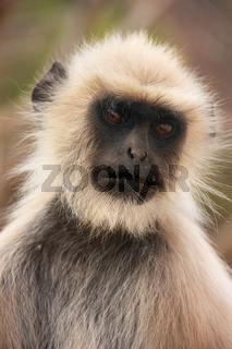 Portrait of Gray langur (Semnopithecus dussumieri), Ranthambore National Park, India