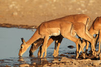 Impala antelopes at waterhole