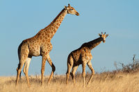 Giraffes in open grassland
