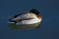 Wild duck sleepin on water