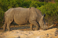 white rhinoceros in the sun, Kruger NP