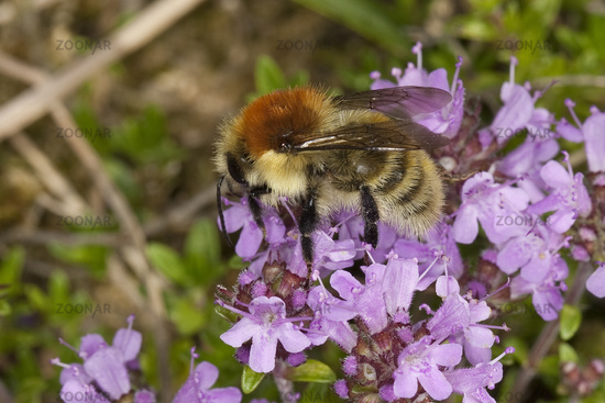 Large carder bee
