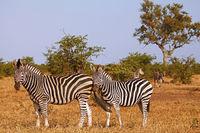Zebras, Kruger National Park, South Africa
