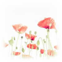 Wild poppy flowers on summer meadow