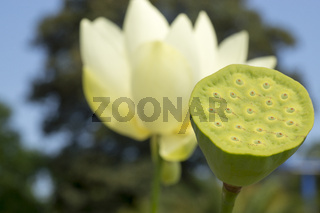 Lotusblume, Nelumbonaceae