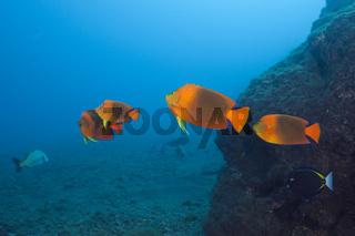 Orange-Prachtkaiserfische, Mexiko