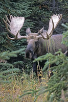 Bull Moose in the taiga - (Alaska Moose)