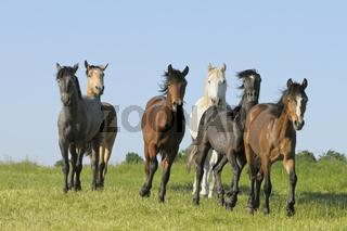Connemara Ponys / Connemara ponies