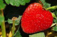 1 BA Erdbeere 14.jpg