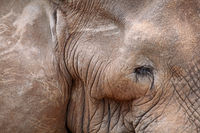 old african elephant, south africa