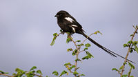 Magpie Shrike in Kruger National Park, SA