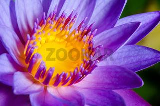 Colorful of purple Lotus