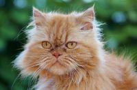 persian longhair