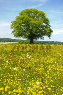 Linde als Einzelbaum im Frühling