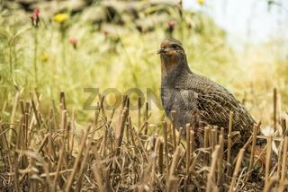 Partridge in the field