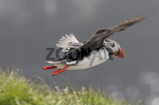 Papageitaucher im Flug (Fratercula arctica), Pa