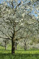 Blühende Obstbäume auf einer Streuobstwiese