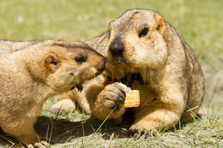 Couple of funny marmots with bisquit on the green grass