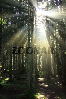 Sun rays in morning forest
