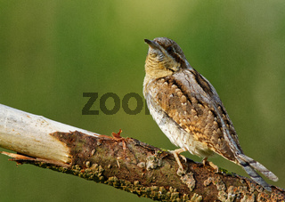 Wryneck on the branch