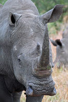 white rhinoceros in Kruger Park, south africa