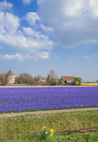 Flower Field in Lisse,Netherlands