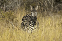 Burchell's Zebra, Madikwe Game Reserve, South Afri