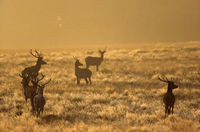 Red Deer stags in the morning sun on a meadow
