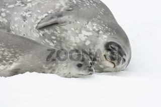 Female and baby Weddell seal lying on the ice of Antarctica.